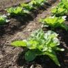 【10月の家庭菜園】種まきと苗植えできる野菜、虫対策、土作り、管理のポイントまとめ