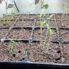 【家庭菜園】作物が弱弱しくなる徒長とは?どんな状態で原因は何なのか説明します