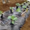 【キャベツの育て方】苗の選び方と植え付け方法