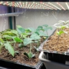 【お家で苗作り】野菜の苗を自分で作るメリット、苗は買わずにお家で作るのが絶対おス