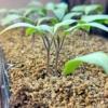 【お家で苗作り】苗作りを始めよう。簡単お手軽、セル苗の作り方