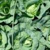 【家庭菜園】玉レタス、キャベツ…結球する葉物野菜はいつ収穫すればいい?収穫