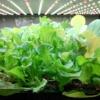 【お家で野菜作り】ベビーリーフの作り方、育苗用セルトレーを使ったお手軽な方法