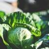 【キャベツの育て方】秋キャベツの栽培方法、品種の選び方~
